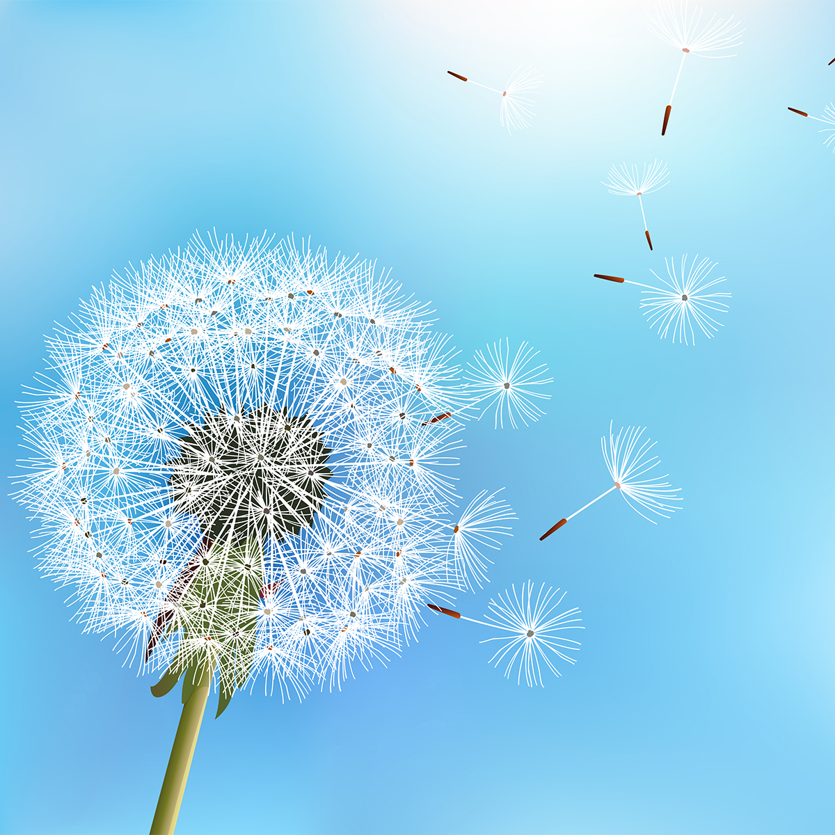 dandelion on bright blue background with seeds blowing away